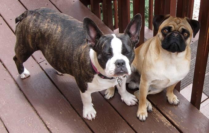 Umbra Olde Boston Bulldog and Danny Apricot Pug