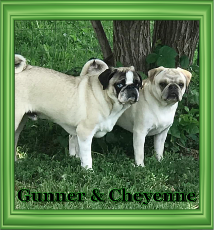 K & M's Krazy Pugs - Adult Multiple Color Pugs | Dogs are not our whole life, but they make our lives whole.