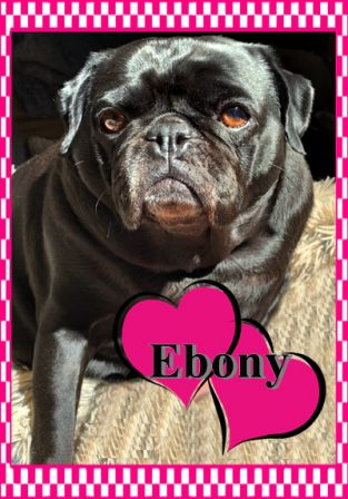 Pikes Peak/Blue Ridge Pugs Ebony now retired and happy! - Adult Black Pug | I've seen a look in dogs' eyes, a quickly vanishing look of amazed contempt, and I am convinced that basically dogs think humans are nuts.