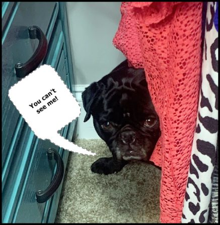 Ebony loves playing hide n' seek with Kim - Adult Black Pug | Did you ever walk into a room and forget why you walked in? I think that is how dogs spend their lives.