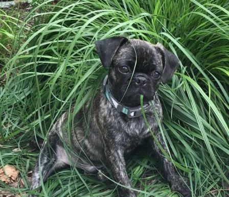Silver Brindle Male - Odin - Brindle Pug Puppies | Dogs feel very strongly that they should always go with you in the car, in case the need should arise for them to bark violently at nothing, right in your ear.