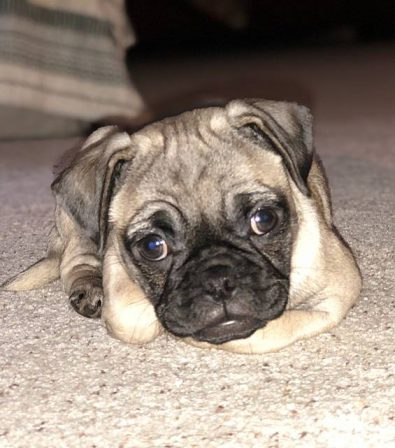 Patty/Charlotte - Fawn Pug Puppies | Money will buy you a pretty good dog, but it won't buy the wag of his tail.