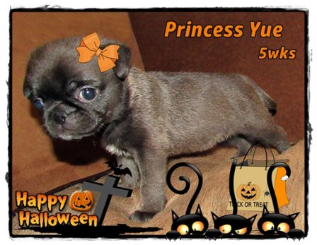 Ghosts and goblins and cats and bats! - Silver Pug Puppies | Such short lives our dogs have to spend with us, and they spend most of it waiting for us to come home each day.