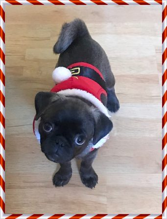 Maggies's Princess Yue/Delta - Silver Pug Puppies | A dog is the only thing on earth that loves you more than he loves himself.
