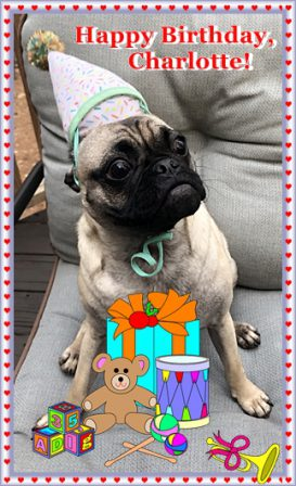 Charlotte is one year old! - Adult Fawn Pug | Don't accept your dog's admiration as conclusive evidence that you are wonderful.