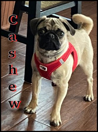 Elaine & Kurt's very own Cashew (aka Paul) - Fawn Pug Puppies | Old dogs, like old shoes, are comfortable. They might be a bit out of shape and a little worn around the edges, but they fit well.