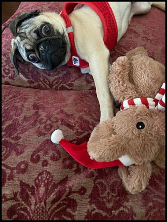 Cashew just saw Santa! - Fawn Pug Puppies | If dogs could talk, perhaps we would find it as hard to get along with them as we do with people.