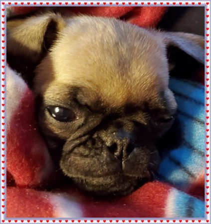 Penny all snuggled in with her new family - Fawn Pug Puppies   Petting, scratching, and cuddling a dog could be as soothing to the mind and heart as deep meditation and almost as good for the soul as prayer.