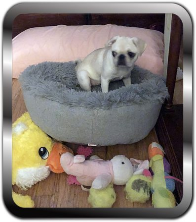Piama double dares you to get in her bed - White Pug Puppies | I think we are drawn to dogs because they are the uninhibited creatures we might be if we weren't certain we knew better.