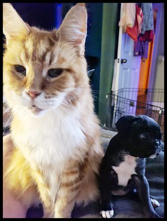 Big Maine Coon kitty and little pug puppy Prissy/Phoebe - Black Pug Puppies | The average dog is a nicer person than the average person.