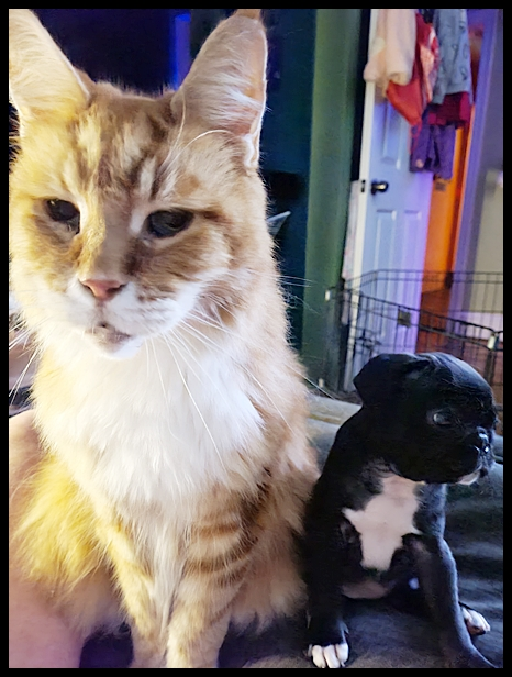 Big Maine Coon kitty and little pug puppy Prissy/Phoebe