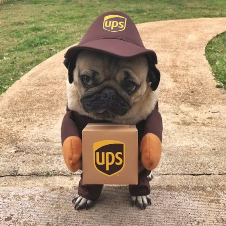 I have a delivery for you sir - Adult Fawn Pug | If you don't own a dog, at least one, there is not necessarily anything wrong with you, but there may be something wrong with your life.
