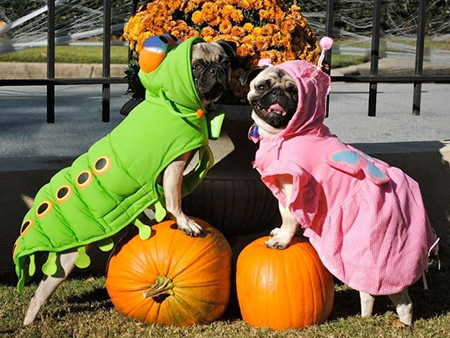 Love bugs (uh, I mean pugs)