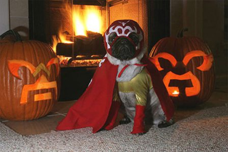 Oh no!  It's the masked pug avenger! - Adult Fawn Pug | Petting, scratching, and cuddling a dog could be as soothing to the mind and heart as deep meditation and almost as good for the soul as prayer.