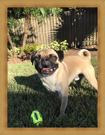 This is Pumpkin/Murdock at six years old - Adult Apricot Pug | Every boy who has a dog should also have a mother, so the dog can be fed regularly.