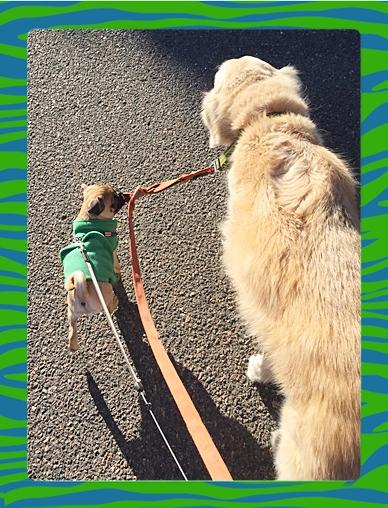 Pumpkin/Murdock walking his BFF Rowdy