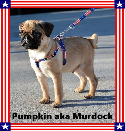 A precious patriotic pug puppy - Apricot Pug Puppies | The one absolutely unselfish friend that man can have in this selfish world, the one that never deserts him, the one that never proves ungrateful or treacherous, is his dog.