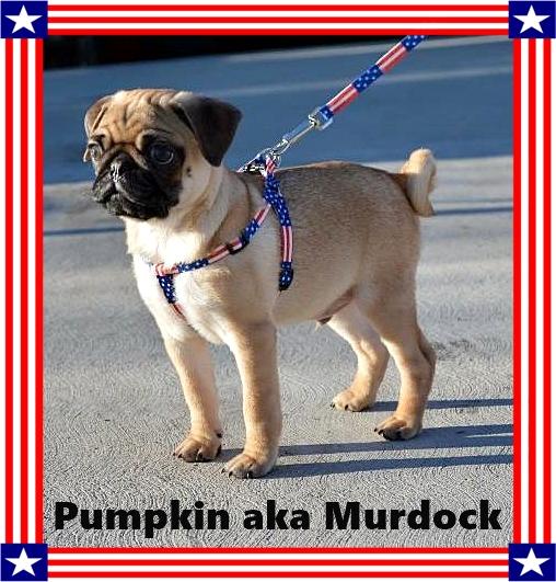 A precious patriotic pug puppy