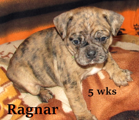 April & Mu's bugg puppy Ragnar