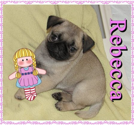 Two dollbabies! - Fawn Pug Puppies | A dog is one of the remaining reasons why some people can be persuaded to go for a walk.