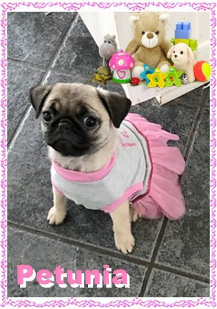 A Diva loves her clothes! - Fawn Pug Puppies | Don't accept your dog's admiration as conclusive evidence that you are wonderful.