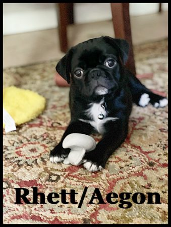 Wouldn't you agree I am super photogenic? - Black Pug Puppies | If you pick up a starving dog and make him prosperous he will not bite you. This is the principal difference between a dog and man.