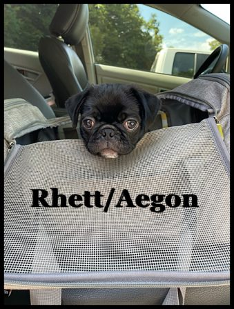 On the way to my new home in Alabama - Black Pug Puppies | The dog is a gentleman; I hope to go to his heaven not man's.