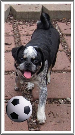 Anyone for a game of soccer? - Multiple Color Pugs Puppies | The dog has got more fun out of man than man has got out of the dog, for man is the more laughable of the two animals.