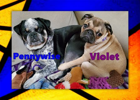 Both of these babies have very unique colors! - Multiple Color Pugs Puppies | Don't accept your dog's admiration as conclusive evidence that you are wonderful.