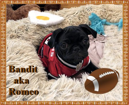 All dressed out for the game! - Black Pug Puppies | If you think dogs can't count, try putting three dog biscuits in your pocket and give him only two of them.
