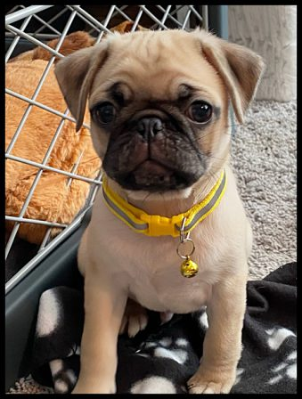 Puddin's & Zeus' little man Rupert - Apricot Pug Puppies | If you think dogs can't count, try putting three dog biscuits in your pocket and give him only two of them.