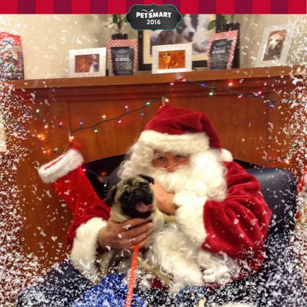 Marti's Ruthie screaming because she is terrified of Santa - Adult Fawn Pug | Old dogs, like old shoes, are comfortable. They might be a bit out of shape and a little worn around the edges, but they fit well.