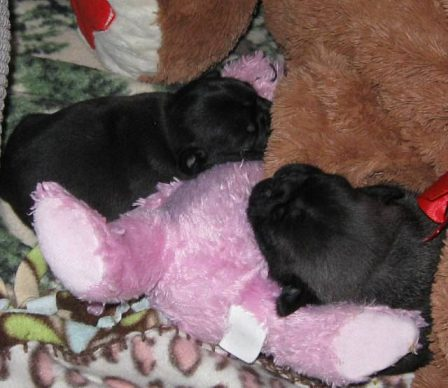 Nap time - Black Pug Puppies | No Matter how little money and how few possessions you own, having a dog makes you rich.