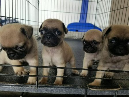 The door's open - let's go - Fawn Pug Puppies | Money will buy you a pretty good dog, but it won't buy the wag of his tail.