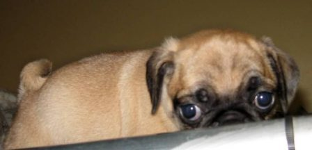 What's Up? - Fawn Pug Puppies | I think we are drawn to dogs because they are the uninhibited creatures we might be if we weren't certain we knew better.