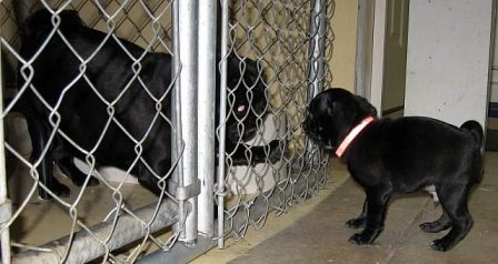 Come out here and I'll show you tough - Black Pug - Puppies and Adults | If dogs could talk, perhaps we would find it as hard to get along with them as we do with people.