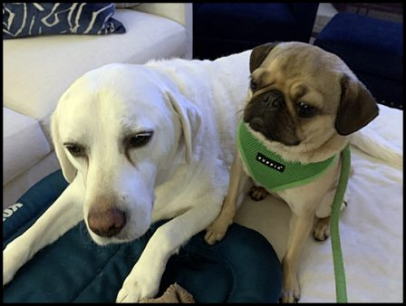 Lucy and Daisy have become fast friends - Adult Fawn Pug | Once you have had a wonderful dog, a life without one is a life diminished.