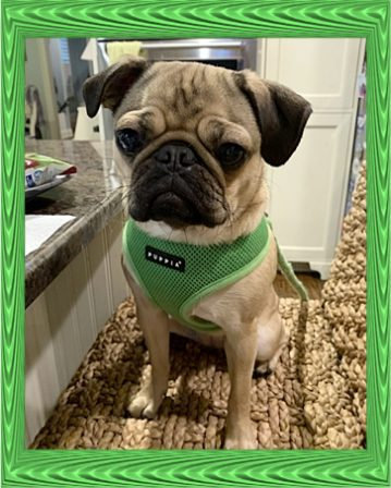 I do believe Daisy is posing for this picture - Adult Fawn Pug | He is your friend, your partner, your defender, you are his life, his love, his leader.