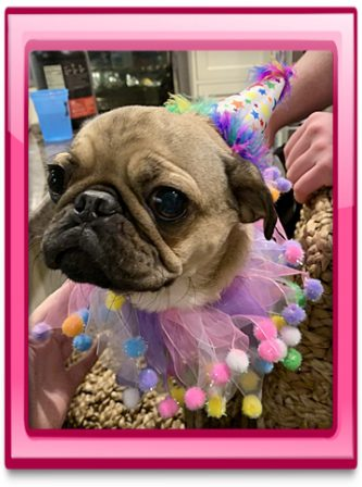 Today, April 2, is Sally/Daisy's one year birthday - Adult Fawn Pug | Don't accept your dog's admiration as conclusive evidence that you are wonderful.
