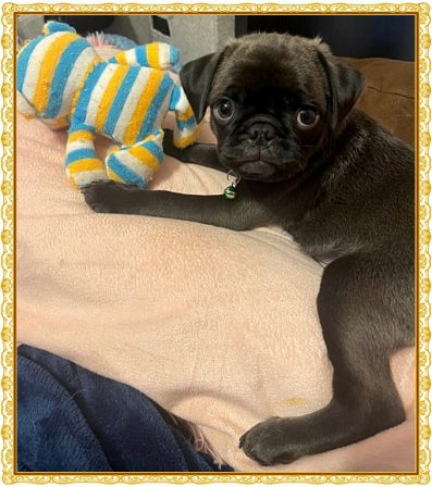 You can see more of Sam/Max's choco in this photo - Silver Pug Puppies | The world would be a nicer place if everyone had the ability to love as unconditionally as a dog.