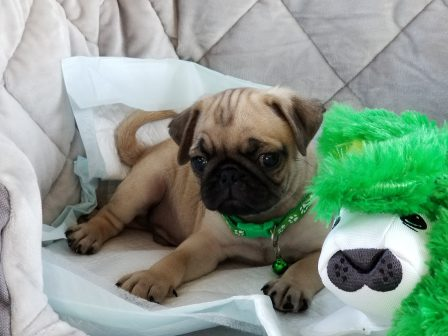 Am I a good looking boy or what? - Fawn Pug Puppies | Petting, scratching, and cuddling a dog could be as soothing to the mind and heart as deep meditation and almost as good for the soul as prayer.