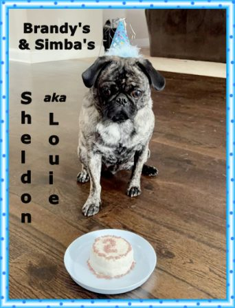 Is that cake for me?  I am one lucky pug! - Adult Brindle Pug | Every boy who has a dog should also have a mother, so the dog can be fed regularly.