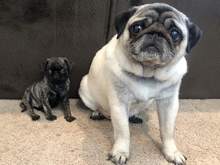 The big and little of things! - Multiple Color Pugs - Puppies and Adults | Petting, scratching, and cuddling a dog could be as soothing to the mind and heart as deep meditation and almost as good for the soul as prayer.