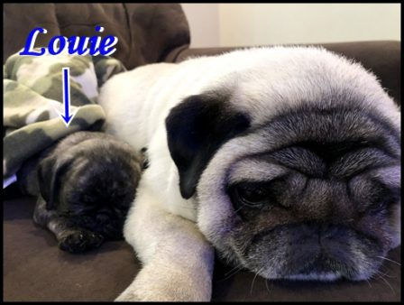 Awe! - Multiple Color Pugs - Puppies and Adults | The one absolutely unselfish friend that man can have in this selfish world, the one that never deserts him, the one that never proves ungrateful or treacherous, is his dog.