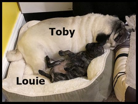 Toby likes sharing Louie's bed - Multiple Color Pugs - Puppies and Adults | If dogs could talk, perhaps we would find it as hard to get along with them as we do with people.