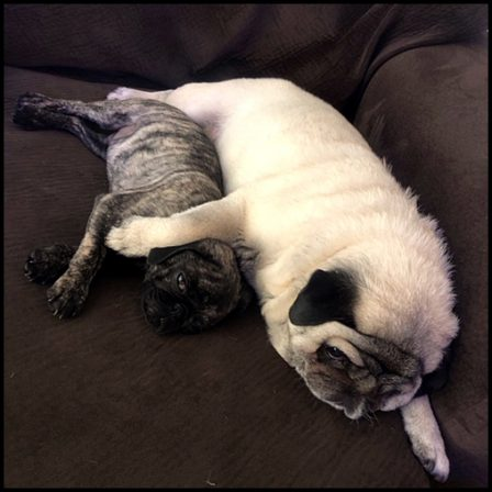 I just wormed my way in! - Multiple Color Pugs - Puppies and Adults | Dogs love their friends and bite their enemies, quite unlike people, who are incapable of pure love and always mix love and hate.
