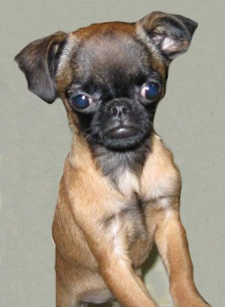 Shirley - Multiple Color Pugs Puppies | Every boy who has a dog should also have a mother, so the dog can be fed regularly.