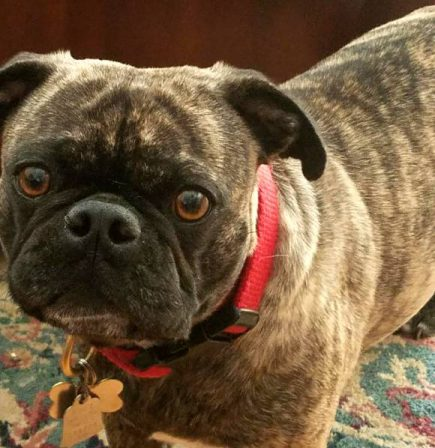 Did you see that? - Adult Brindle Pug | My goal in life is to be as good of a person my dog already thinks I am.