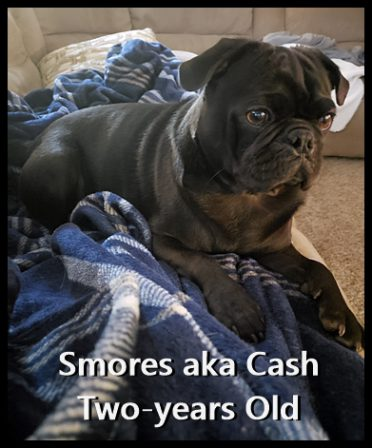 What a handsome boy Ebony's Smores/Cash turned out to be! - Adult Black Pug | Old dogs, like old shoes, are comfortable. They might be a bit out of shape and a little worn around the edges, but they fit well.
