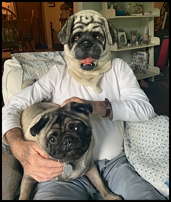YIKES!  A giant pug is in the house! - Adult Fawn Pug | Dogs love their friends and bite their enemies, quite unlike people, who are incapable of pure love and always mix love and hate.